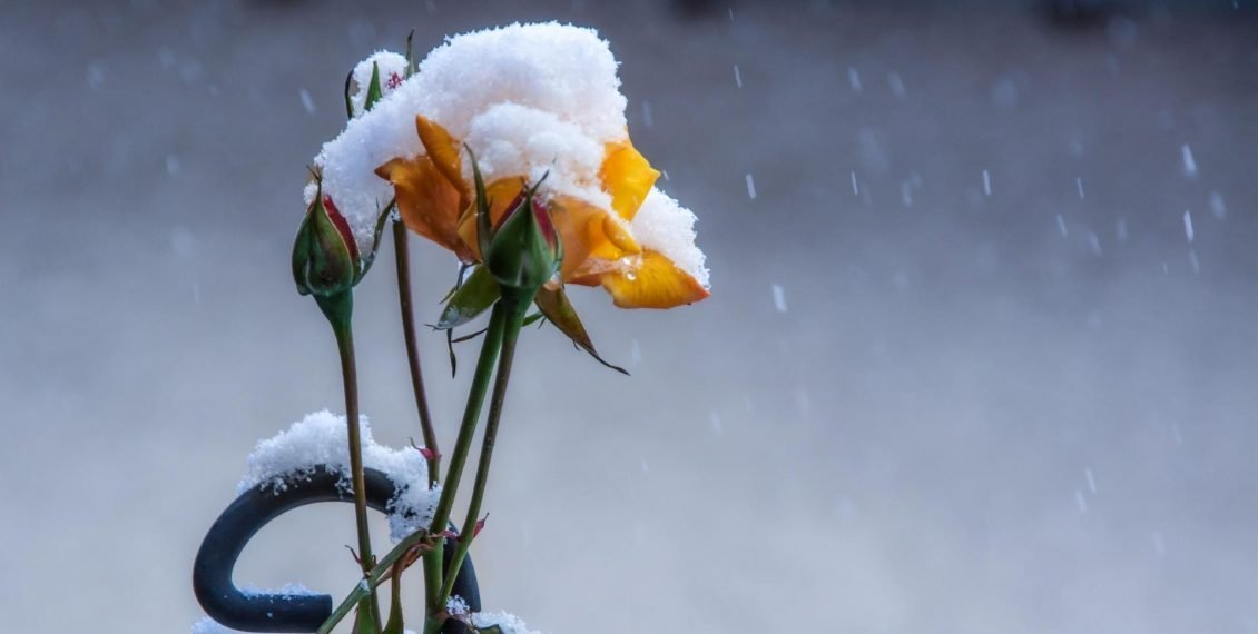 rose with snow